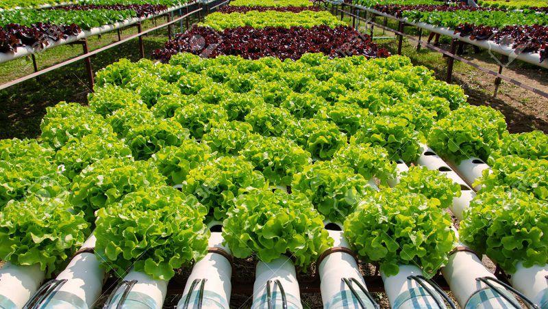 trồng rau thủy canh sử dụng phân avi 600